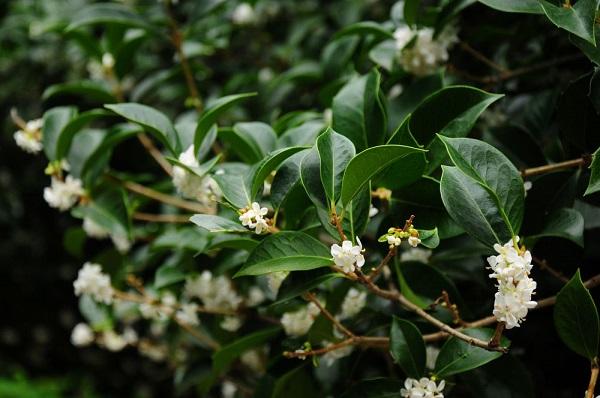英語 金木犀 fragrant olives 発音 フレーズ 花言葉